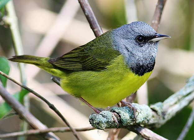 Mourning Warbler – Bird Species Guide