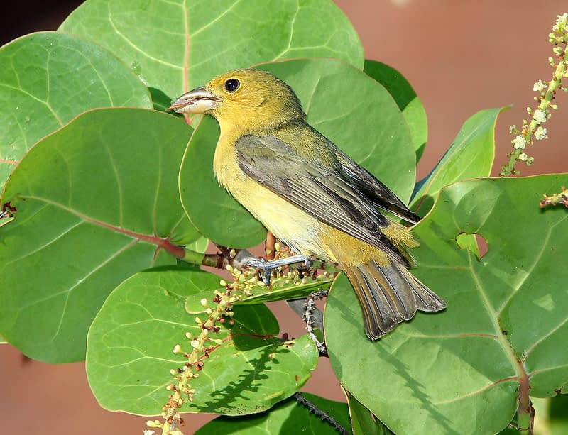 A yellow colored female Scarlet Tanager