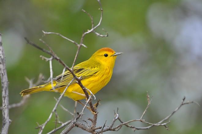 Yellow Birds in Pennsylvania (PA)